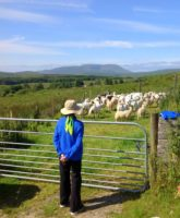 Herding sheep in the north of Ireland