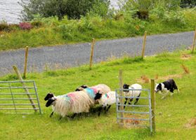 "Sheepdogs herding sheep on the Inroads Ireland ""Go West tour"""