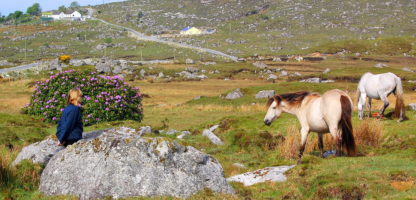 Travel back roads find wild Connemara ponies